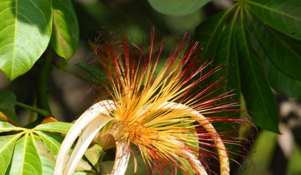 Nicaragua  Pachira aquatica