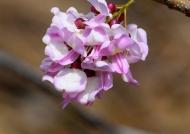 Nicaragua Mexican Lilac