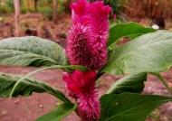 Nicaragua Celosia argentea