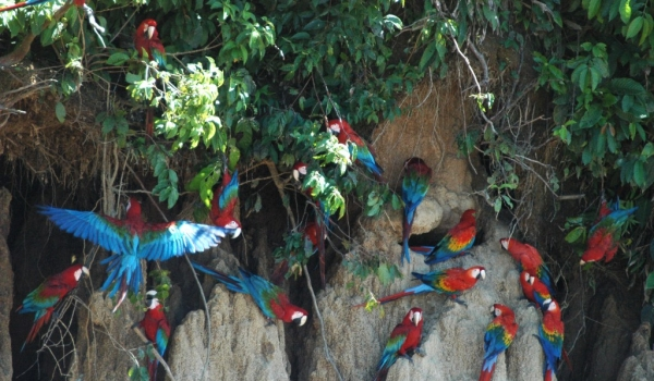 Red & Green+Scarlet Macaws
