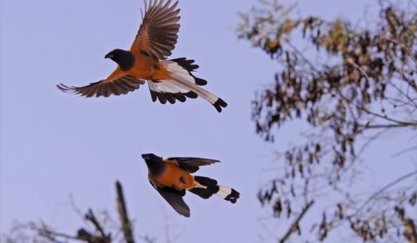 India Rufous Treepie