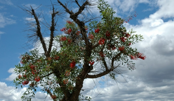 Argentina Ceibo tree (national flowers)