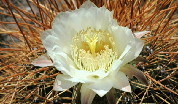 Argentina White flower of  « Cardones »