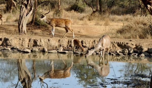 Spotted Deers & Sambar