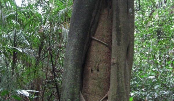 Peru Strangler Fig Tree