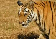 Tiger – Bandhavgarh N.P.