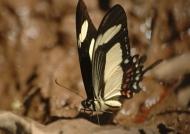 Torquatus Swallowtail