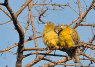 Yellow-footed Green Pigeons