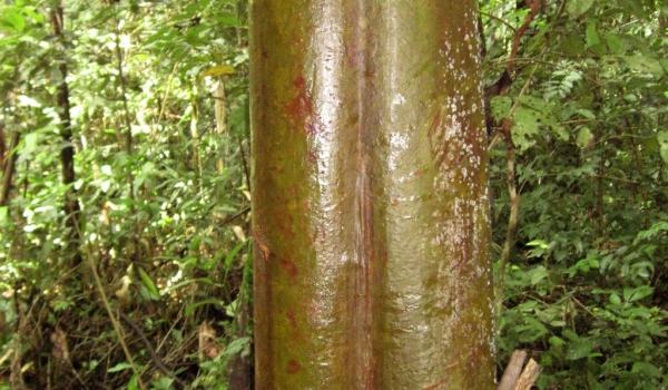 Peru Firewood Tree