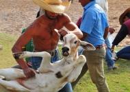Pantanal – Cattle Marking