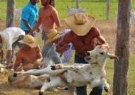 Cattle Marking