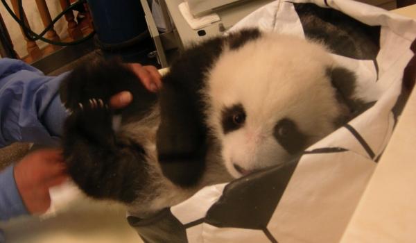 China Panda nursery in Wolong