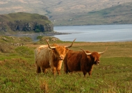 Scotland  Highlander cows