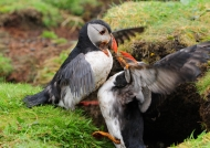 Scotland Fight of Puffins