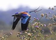 Zambia – Lilac Breasted Roller