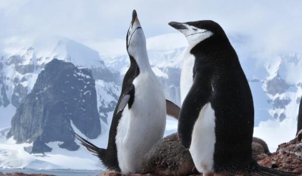 Antarctica-Chinstrap Penguins