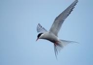 Iceland – Arctic Tern