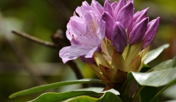 Scotland-Azalea