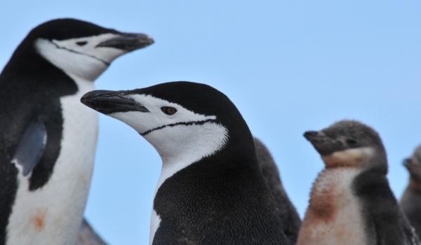 Antarctica – Chinstrap Penguins