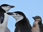 Antarctica – Chinstrap Penguins