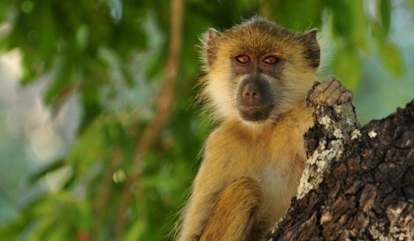 Zambia – Chacma Baboon