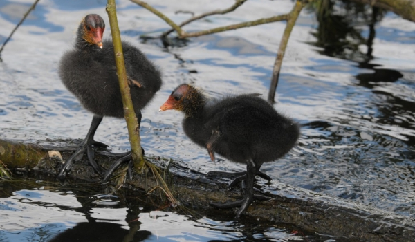Scotland Common Coots