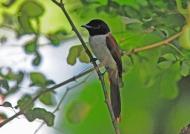 Seych. Paradise-flycatcher – f.