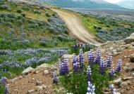 Field of Alaskan lupines