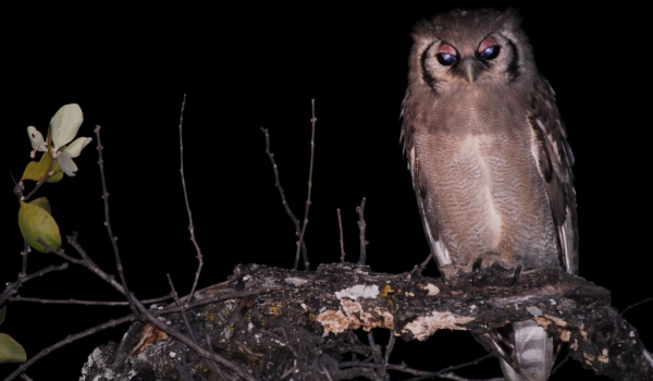 Zambia – Giant Eagle Owl