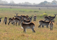 Zambia – Male Red Lechwes