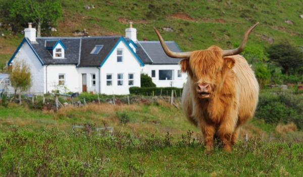 Mull  Highlander cow