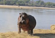 Zambia – Hippo looking angry
