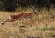 Zambia – Impala jump