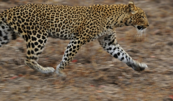 Zambia – Leopard running away