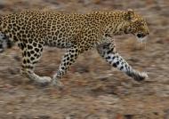 Zambia – Leopard running away