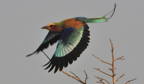 Zambia – Lilac-breasted roller