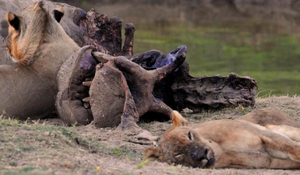 Zambia – Lion & Hippo Carcass «resting»