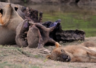 Zambia – Lion & Hippo Carcass « resting »
