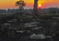 Zambia – Lions resting at sunset