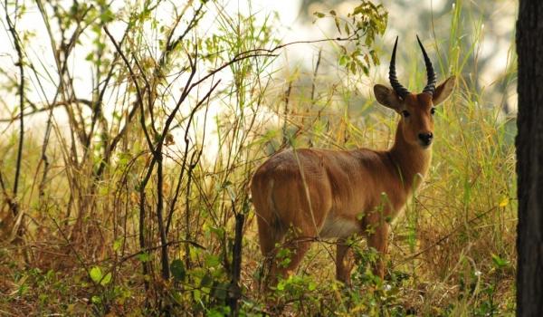 Zambia – Male Puku Antelope