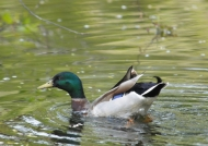 Scotland – Mallard or wild duck