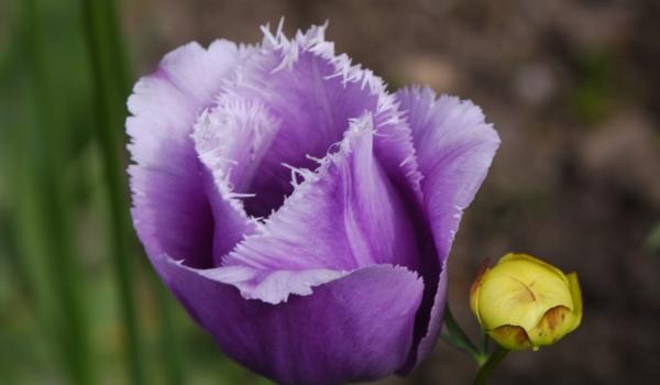 Purple pink fringed-Tulip