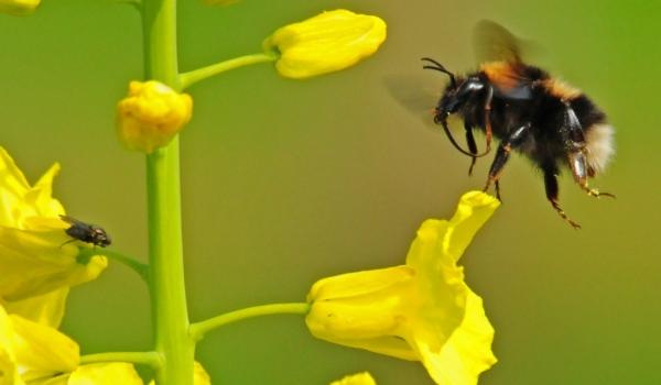 Rape flower with Bumblebee
