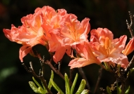 Scotland-Rhododendron