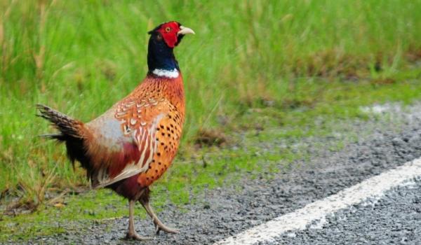 Scotland Ring-necked Pheasant
