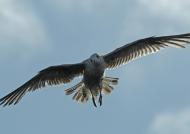 Scotland Seagull