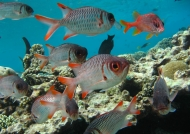 Shoal of Violet Soldierfishes