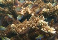 Threadfin Cardinalfishes