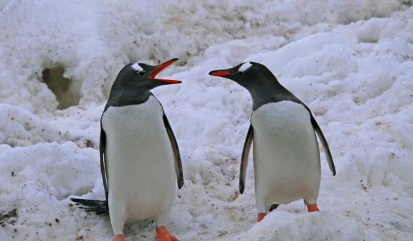 Antarctica – Gentoo Penguins