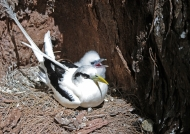white-tailed tropicbird & chick